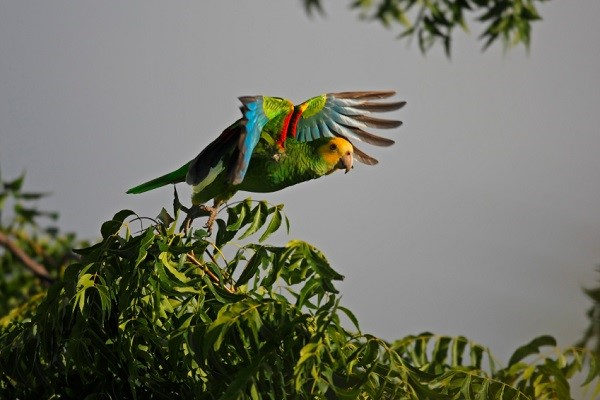 Yellow-shouldered Parrot (Amazona barbadensis)